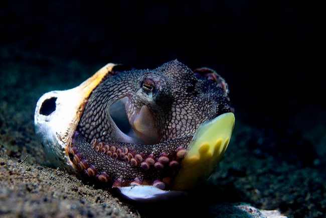 Coconut Octopus in Lembeh