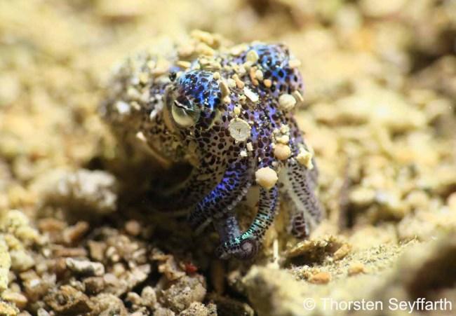 Murex Manado Humming-bird Bobtail Squid (Euprymna berryi)