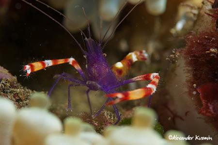 Crustaceans in Manado Violet Banded Boxer Shrimp (Stenopus tenuirostris)