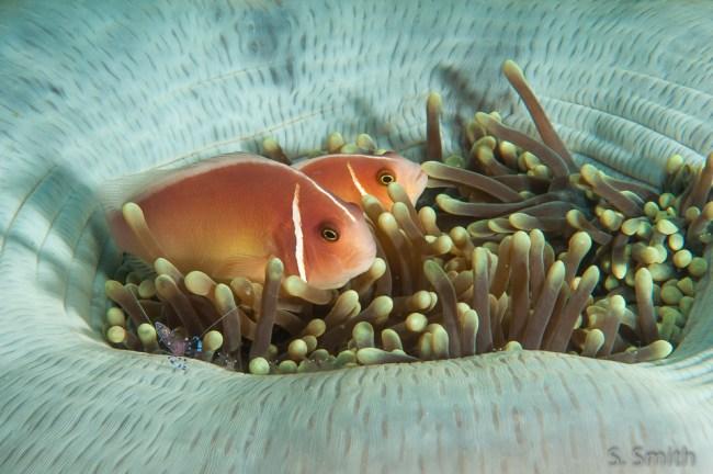 anemonefish and anemone shrimp