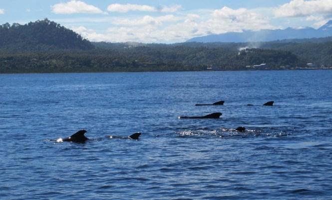 Short finned pilot whales (Globicephala macrorhynchus) in Manado bay