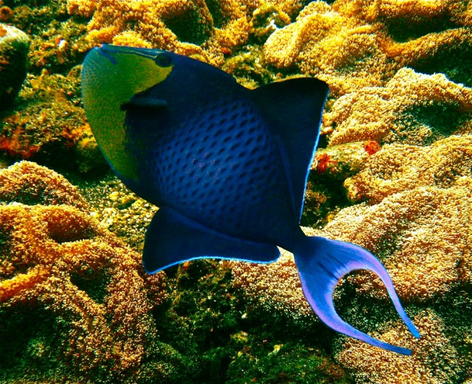 Red Toothed Triggerfish (Odonus niger)
