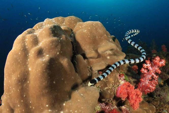 Banded Sea Kraits