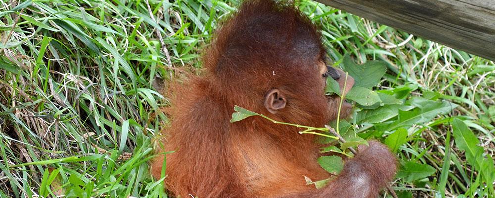 Baby-orangutan-at-Tasikoki