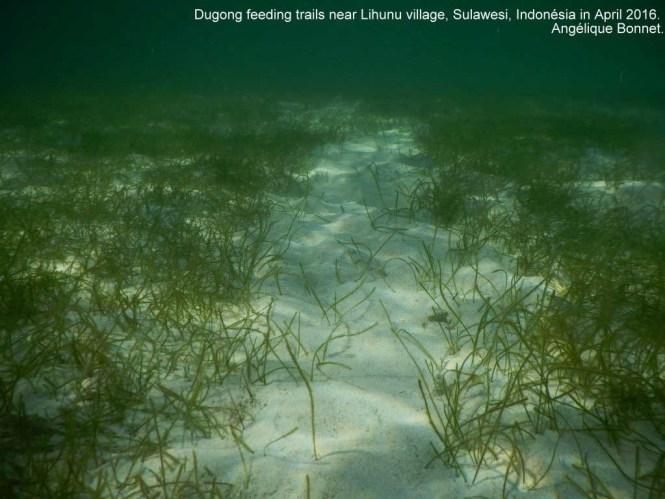 Seagrass trail Dugong dugon