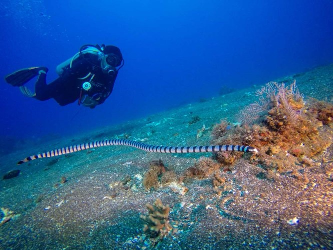 Sea snake at Murex housereef