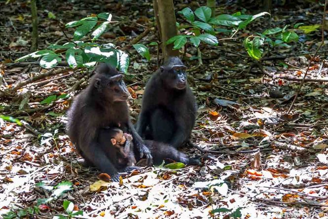 Black Macaque family