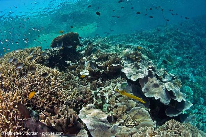 Bunaken coral gardens