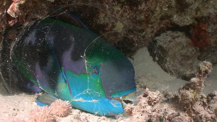Parrotfish night dives