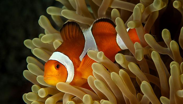 anemone symbiosis