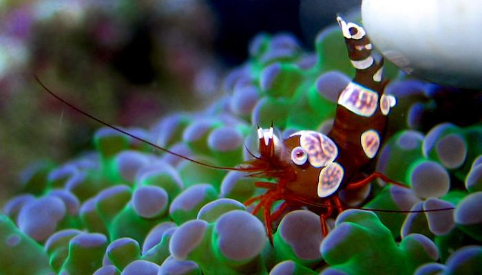Sexy shrimp anemone