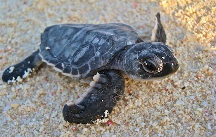 juvenile sea turtle