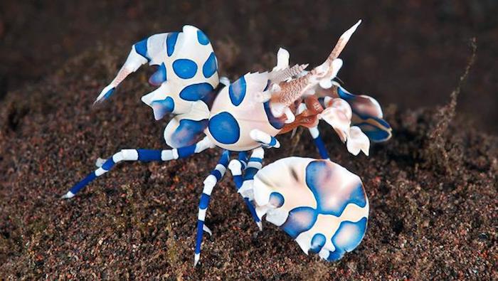 Crustaceans harlequin