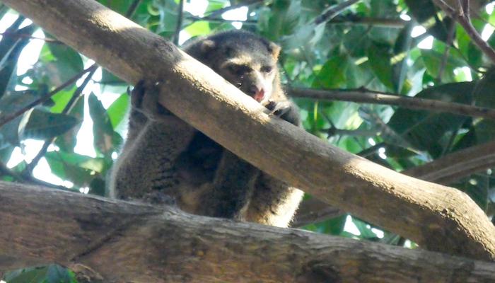 Sulawesi Bear Cuscus Bangka