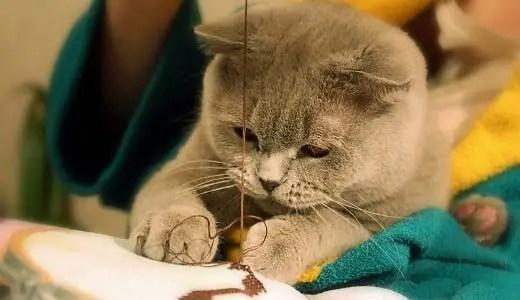 Kucing Inggris adalah salah satu ras kucing yang paling pintar