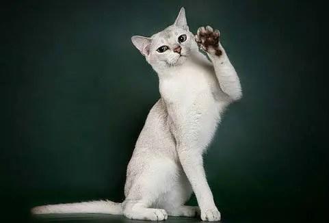 Burmilla adalah jenis kucing yang cantik
