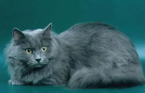 Kucing Siberia adalah jenis kucing terpintar