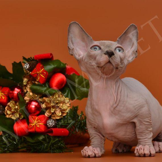 бамбино котенок
