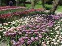 TulipanZauberblüte_6745