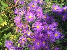 Astern in herrlichem lila :D