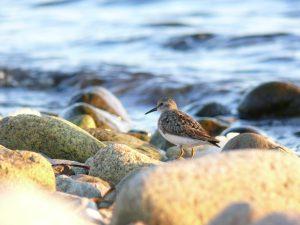 Semipalmated sandpiper on the shore of the Bras d'Or Lake, Cape Breton. Photo by Glen Murrant