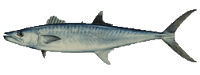 king-mackerel1