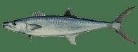 king-mackerel1
