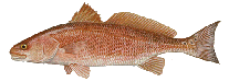 red_drum