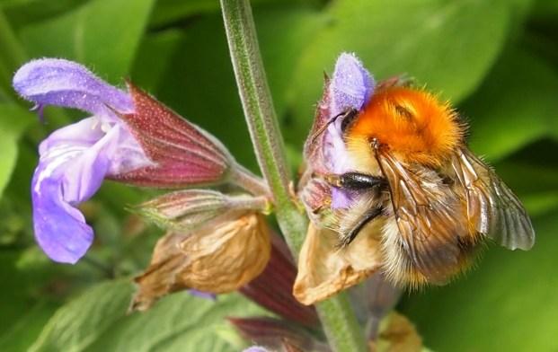 Carder bee (Bombus pascuorum)