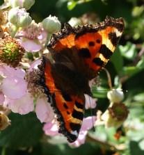 Tortoiseshell butterfly on bramble