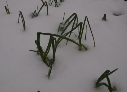 Onions in snow