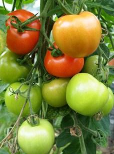 Tomatoes - Gardeners delight