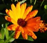 Calendula - pot marigold