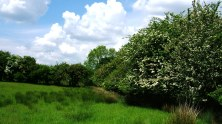 Typical farmland hedgerow with hawthorn flowers