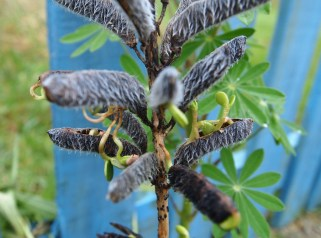 Lupin seeds germinating