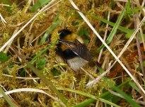 Heath Bumblebee will use heather for feeding