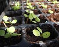 Lettuce germinating