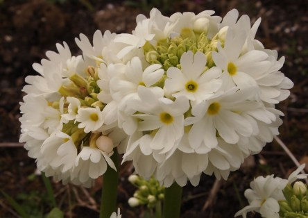 Lollipop primula