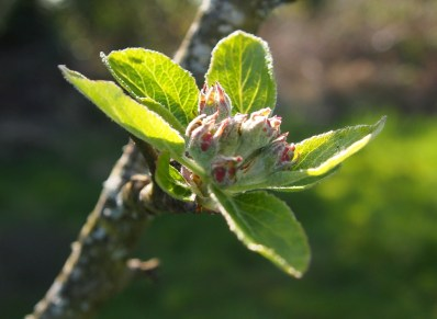 Apple blossom still to open