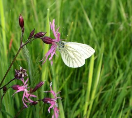 Green veined white on ragged robin