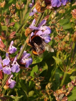 Buff-tailed queen on Sage