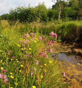 Ragged robin and buttercup by pond