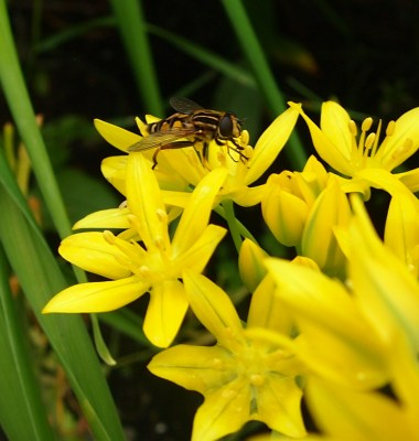 Hoverfly on allium
