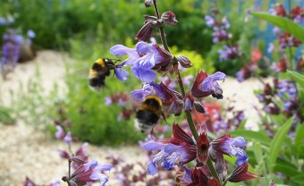 Bumbles on sage