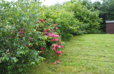 hedge with climbing rose