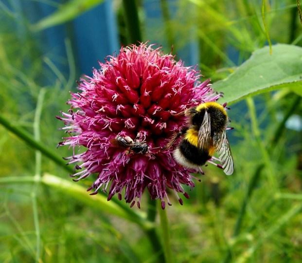 Bumblebee drone sharing Allium