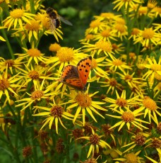 Ragworth with small copper butterfly and hoverfly