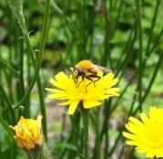 Hoverfly - Artophila superbiens