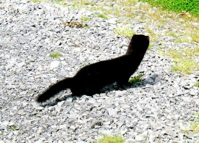 MInk (non native to Ireland) can desimate a whole flock