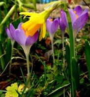 Crocus & Dwarf Daffodil